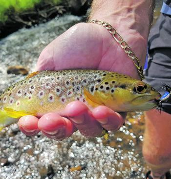 The dry fly fishing is to die for at the moment – trout will rise for dry flies like this blow fly imitation.