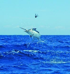 Conditions are looking good to see this sort of action repeated over the next few months: a small black marlin strutting its stuff of Sandon. (Photo by Mick Orr)
