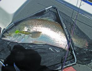 Slick Rigs matched to an Area 51 jighead are too tempting for hungry barramundi.