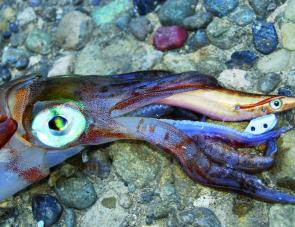 Calamari squid have large eyes and perfect vision, even at night. So it can be beneficial to use a long fluorocarbon leader, particularly if the main line is braid.