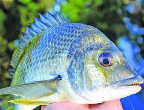 A few bream should be lurking around the rocks and beaches this month. They'll also be on the cards in the lakes and Brisbane Water, but you'll have to work hard for them.