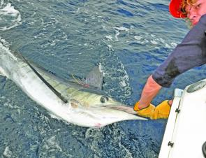 Striped marlin numbers will thin out as the water warms, but the odd one can turn up at any time.