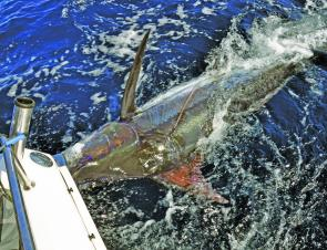 Chunky blue marlin are the major targets over Summer unless the little blacks show up inshore – but nobody's holding their breath waiting for that to happen.