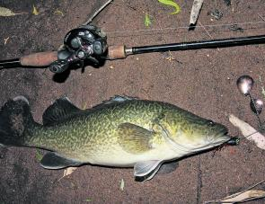 An undersized Murray cod taken on a gold bladed spinnerbait in the lower reaches of the Kiewa River.