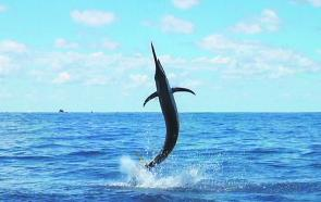 Another Port Stephens marlin takes to the air.