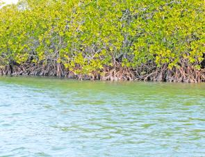 Poppers are the go for targeting bream on mangrove lined banks like this. The lures need to be cast right up at the base of the roots and kept in the strike zone for as long as possible