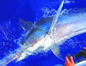 Unexpected calm days have allowed anglers to mix it with some big marlin on the wider grounds.