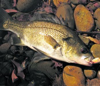 The majority of bass found in shallow upstream sections of small creeks aren't big, but they're certainly spirited fish and very willing to hit surface lures.