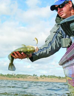 While a few golden perch will fall to lures, live shrimp will be the most successful way to catch them.
