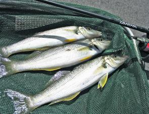 Whiting like these beauties make great eating, and are a whole lot of fun caught on surface lures.