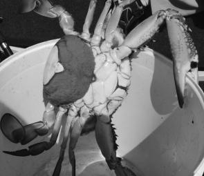A big female crab 'in berry' – full of eggs – about to be released, as the law requires. This month blue swimmer crabs should be all over the place after an early start to the season.