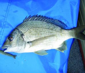Bream and shrimp lures will become more synonymous over coming months.