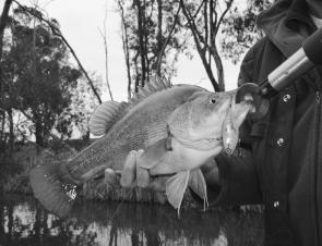 This 45cm golden perch was caught while casting a lipless crankbait along the edge of a weed bed in the Loddon River at Bridgewater. The Loddon has been the most productive water in Central Victoria recently.