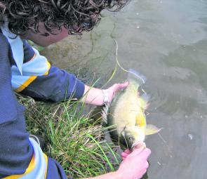 Releasing a winter golden perch. Prepare well and make your sessions short and you can succeed.