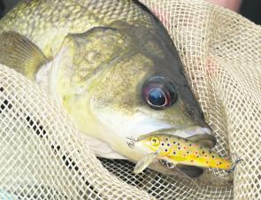 While bass probably don't eat too many baby brown trout, Rapala Count Downs do a great job of imitating the sort of food most river and creek bass feed on.