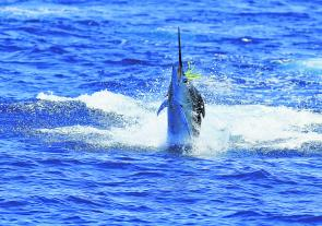 Marlin have great eyesight, definitely see colours and devote a relatively large portion of their brain to interpreting what they see around them.
