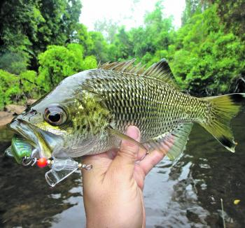 These fish are absolutely stunning to look at – especially when caught in the sweet water streams.