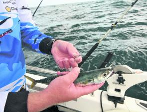 A live slimy mackerel is a deadly bait for any mackerel.