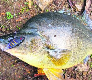 Blowering golden perch have been sensational lately with fish like the author's pending ANSA length-only national record golden perch up and about. The 661mm yella took a slow-rolled Balista Juggernaut cast from the bank.