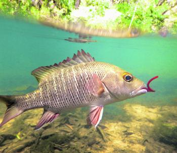 Mangrove jacks are aggressive, territorial and whole heap of heart-racing fun!