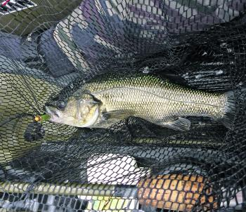 "A bass in the net caught on a ZMan 2.5"" Slim SwimZ."