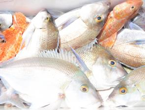 A bag of tasty reef fish caught off Tathra – morwong, snapper, red rock cod and sergeant baker.