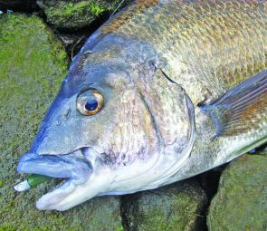 Well-scented soft plastics are a good option for November bream.