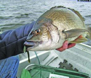 Fat bream are a good bet around the Bridgewater area.