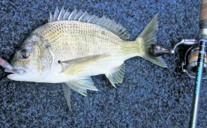 Bream on topwater is great fun, especially when you are getting fish around the 35cm fork length.