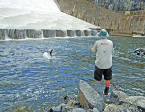 Here QFM editor Stephen Booth is assessing the stock of trapped barra below the spillway at Awoonga. And if you wanted to know how good the fishing was, well it was simply brilliant.