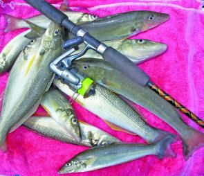 Bags of juicy whiting are common on the flats near the entrance