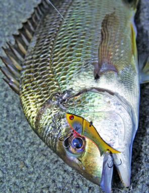 The influx of bream in the lower reaches means great fun for lure and bait fishos. Blades like this Stiffy Devil Fish are a great choice when working the rock walls.