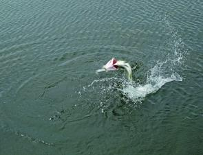 This barra makes a last ditch attempt to be free from the line, jumping near the boat, making for very exciting fishing.