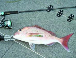 Pumicestone snapper are readily taking well presented plastics.