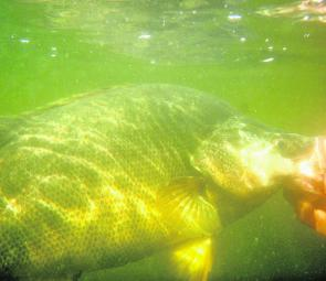 Another obese Blowering Dam golden perch on its way back to fight another day. Targeting the shallow margins will be your best bet for thumping yella action this month.