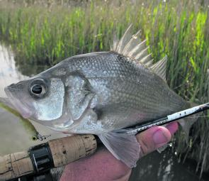Not all Gippy Lakes perch are big, like this nice Mitchell River specimen caught on fly.