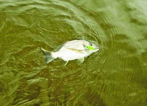 Bream on surface lures are great fun! This one was caught on a Tiemco Red Pepper.