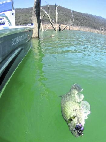 A big beauty brought undone by a spinnerbait is reeled into the boat.