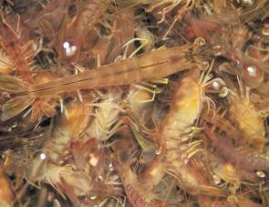 Prawning in the channels is well worth it, with prime crustaceans like these great for bait or the plate.
