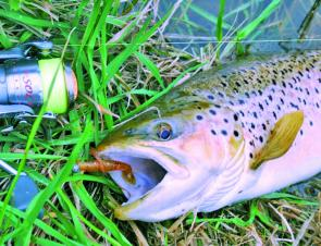 Working paddletail soft plastics along the edges produces well in times of high flows.