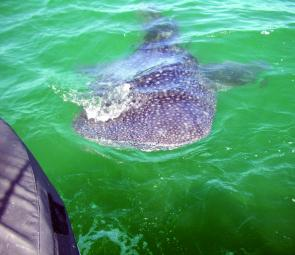 A whale shark checks out the back of the boat up at Double Island Point.