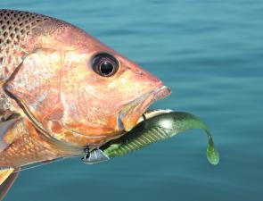 Golden snapper from deeper water are best viewed as a food resource. Even on lures, survival rates are low if these fish are hauled from more than 10-15m then returned to the water.