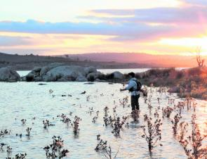 On the rise, Lake Eucumbene offers some of the best shallow water trout fishing on the mainland but actually landing a decent fish among all these thistles is very difficult. Strong leaders are the order of the day.