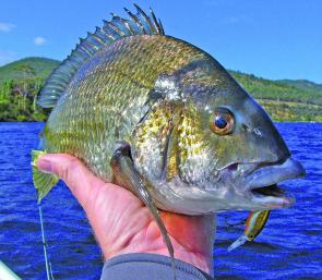 Bream are getting back to their summer best, small jerk bait lures are very good in the shallow water.