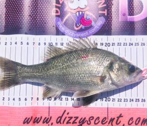 A 26cm bass the writer caught at Rocklands on a Stumpjumper whilst targeting redfin.