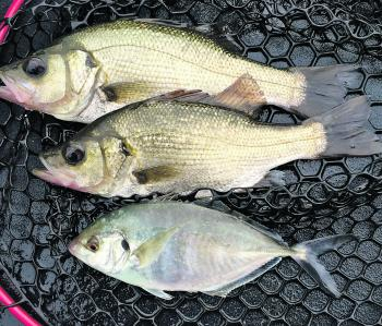 Estuary perch and small trevally are a common by-catch in winter if the mouth is open.