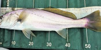 Small mulloway are extremely common in the Glenelg. June often sees some much bigger fish.