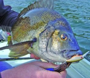The Ecogear SX40 is a top lure for the flats feeding bream.