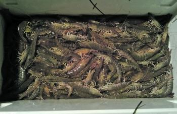School prawns are on the move.