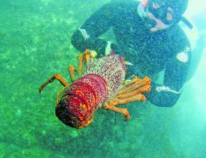 Diving for crayfish around Apollo Bay is a favourite pastime, with crays like this on offer you can imagine why.